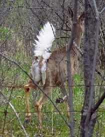 White-tailed-deer-alarmed