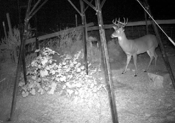 Best Attractants for deer